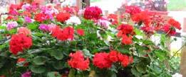 geraniums-de-la-croix-du-col